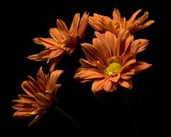 Orange Daisy Group 1102 (Tjerger) Tags: nature flowers bloom blooms plant natural flora floral blackbackground portrait beautiful beauty black orange green fall wisconsin macro closeup yellow group bunch mums flowre mum