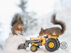 red squirrels standing on a tractor with snow in front (Geert Weggen) Tags: red nature animal squirrel rodent mammal cute look closeup stand funny bright sun backlight holiday tender logo winter snow passion travel ride car automobile load fourwheeldrive quad shovelingsnow redsquirrel quadbike farmer tractor vehicle bispgården jämtland sweden geertweggen ragunda