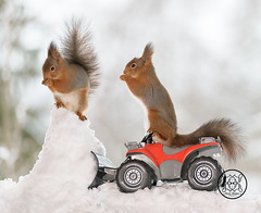 red squirrels standing on an Quadbike with snow in front (Geert Weggen) Tags: red nature animal squirrel rodent mammal cute look closeup stand funny bright sun backlight holiday tender logo winter snow passion travel ride car automobile load fourwheeldrive quad shovelingsnow quadbike geertweggen bispgården jämtland sweden ragunda