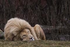 The Lion Sleeps (Racquel Heron) Tags: lion cat bigcat feline mammal animal animals sleeping zoo toronto canada ontario