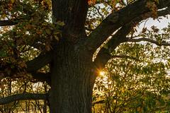 Herbstlicht (berndtolksdorf1) Tags: deutschland thüringen jahreszeit herbst baum blätter eiche sonne outdoor sonnenstrahlen