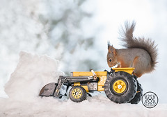red squirrel standing on a tractor with snow in front (Geert Weggen) Tags: red nature animal squirrel rodent mammal cute look closeup stand funny bright sun backlight holiday tender logo winter snow passion travel ride car automobile load fourwheeldrive quad shovelingsnow redsquirrel quadbike farmer tractor vehicle bispgården jämtland sweden geertweggen ragunda