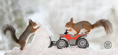 red squirrels standing on a Quadbike with snow in front (Geert Weggen) Tags: red cute nature look animal mammal rodent squirrel sun holiday closeup backlight logo stand funny bright travel winter snow car automobile passion load sweden quad jämtland fourwheeldrive bispgården shovelingsnow redsquirrelsittingonaquadb redsquirrelsittingonaquadbike tender ride geertweggen ragunda