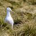 Diomedea epomophora (Southern Royal Albatross, Toroa)