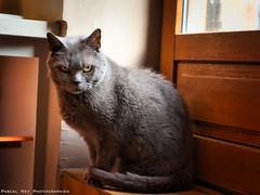 Il n'aime pas être photographié... (Pascal Rey Photographies) Tags: chat animaux animalerie animals animales animali tiere katze gato gatti cat cats chats pascalrey nikon reynikond700luminar d700 luminar4 skylum pascalreyphotographies