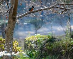 Kingfisher (shinichiro*@Hokkaido-until0217) Tags: 町田市 東京都 日本 20200106ds29053 2020 crazyshin nikonz6 z6 ftz sigma150600mmf563dgoshsmcontemporary winter january tokyo japan jp 薬師池公園 bird birds sspriority isoauto 49487210342 9754553 202002esp