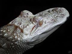 ALBINO AMERICAN ALLIGATOR (eliewolfphotography) Tags: albino explore americanalligator animals alligator wildlife nature florida floridawildlife