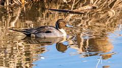 Northern Pintail (m) (Bob Gunderson) Tags: anasacuta birds california dabblingducks ducks lasgallinas marincounty northbay northerncalifornia northernpintail