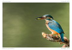 Le martin-pêcheur (BerColly) Tags: france google bercolly birds auvergne oiseaux puydedôme martinpêcheur europeankingfisher portrait fish fishing poisson pêche flickrflickr