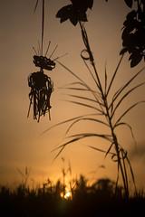 (kuuan) Tags: mf manualfocus canon ltm f35 100mm 35100 f35100mm canonltm canonltmf35100mm sonya7 ilce7 sony bali indonesia ubud sunset penjol sampian sampiangantung wideopen