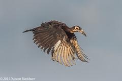 Rare.... (Explore 4 February 2020) (Duncan Blackburn) Tags: hornbill kruger 2015 groundhornbill bird southafrica ground nature nikon wildlife