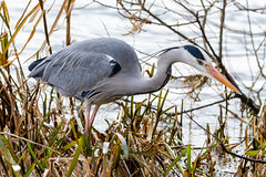 Grey Heron, Ferry Meadows (Paul Braham Photography) Tags: bird wader river lake stream waterbird heron grey fisheater wild country