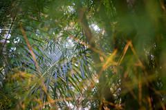 (kuuan) Tags: mf manualfocus canon ltm f35 100mm 35100 f35100mm canonltm canonltmf35100mm sonya7 ilce7 sony bali indonesia ubud garden flowers plants bokeh light catseyes palm palmleaves wideopen