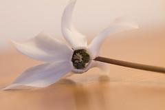 Cyclamen blanc (Gisou68Fr) Tags: composition cyclamen blanc white fleur flore bois pétales petals wood meuble furniture buffet sideboard février february 2020
