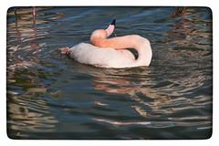 Autant de volupté, ça me retourne !... (jmollien) Tags: camargue flamant rose étang marais reflets reflections faune nature provencealpescôtedazur beautiful photographie flamingo