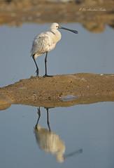 The Head Turner... (Anirban Sinha 80) Tags: nikon d610 fx 500mm f4 ed vrii n g bird bokeh habitat wetland portrait beak spoonbill natural wildlife