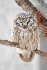 sommeil méditatif / Meditative sleep (anniebevilacqua) Tags: nyctaledetengmalm borealowl aegoliusfunerius yamachiche sleep meditation sommeil