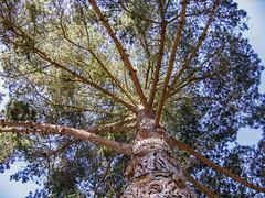 Towering 04 (davidseibold) Tags: america california morrobaystatepark sanluisobispocounty usa unitedstates jfflickr photosbydavid plant postedonflickr sky tree morrobay unitedstatesofamerica
