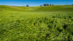 dancing in the wind (LightInThisWorld) Tags: lightinthisworld iphone iphone8plus windy sanjose shotoniphone grass green bluesky nature bayareaphotographer sanjosephotographer sanjoseca bayarea