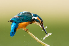 Double ration (quercyanimalier) Tags: martinpêcheur commonkingfisher alcedo atthis