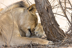 lioness paws (Africanphotos) Tags: lioness paws preening grooming kgalagadi wildlife wild africa african animal cute ngysa
