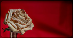 Withered Rose. (CWhatPhotos) Tags: cwhatphotos camera photographs photograph pics pictures pic picture image images foto fotos photography artistic that have which contain digital olympus four thirds omd em1 mkll 60mm macro prime f28 closeup old decayed decay withered flower rose dry dried out flickr