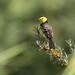 Citrine Wagtail (Motacilla citreola)