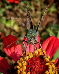 Surprised (Olhyvelis) Tags: butterfly macro colors animal flower mariposa camping mountain mobile photo photographer photography surprised magic life encounter bokek travel outdoor hyundai nature coth5