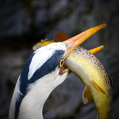 Eyeballs (mond.raymond1904) Tags: heron trout dublin dodder