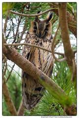 Gufo (Teone!) Tags: birdwatching deltadelpo asiootus longearedowl gufocomune wildlife nature bird uccello gufo owl rovigo veneto italia italy