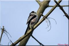 Orite Mésange à longue queue   (2) (Ezzo33) Tags: france gironde nouvelleaquitaine bordeaux ezzo33 nammour ezzat sony rx10m3 parc jardin oiseau oiseaux bird birds orite orites mésangeàlonguequeue