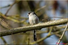 Orite Mésange à longue queue   (1) (Ezzo33) Tags: france gironde nouvelleaquitaine bordeaux ezzo33 nammour ezzat sony rx10m3 parc jardin oiseau oiseaux bird birds orite orites mésangeàlonguequeue