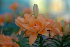 Mamiyayaya 4 (M42Junkie) Tags: m42 m42mount mamiyasekor55mm14m42 pentaxk10d vintagelens vintagesensor oldlens orange yellow green flower flowers sanantonio texas