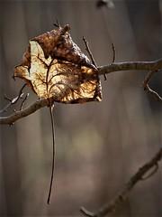 Deuxième vie dorée (danielled61) Tags: feuille dorée bois forêt hiver février macro dreams vie