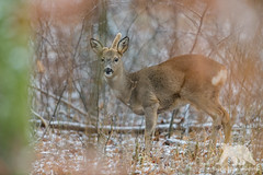 Roe deer buck #Explored (fascinationwildlife) Tags: animal mammal wild wildlife winter wildlifephotography wildtiere nature natur naturephotography naturfotografie nymphenburg schloss park munich münchen deutschland germany bayern bavaria forest urban wald tiere reh rehbock rehwild buck deer nikon nikonphotography photography fotografie