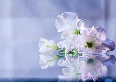Peruvian lilies (Elisafox22) Tags: elisafox22 sony nex7 helios44m helios kmz madeinussr 258 8blade vintagelens hbw bokehwednesday bokeh glassbase flowers alstroemeria peruvianlily firstshot indoors tabletop elisaliddell©2020