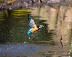 Kingfisher (shinichiro*@Hokkaido-until0217) Tags: 町田市 東京都 日本 20200110ds21114 2020 crazyshin nikonz6 z6 ftz sigma150600mmf563dgoshsmcontemporary january winter tokyo japan jp 薬師池公園 bird birds sspriority isoauto wmonopod 49491326621 9754553 202002esp