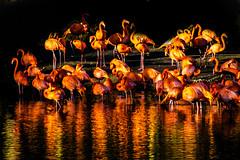 Flamingo glow (Tony Shertila) Tags: chester england gbr unitedkingdom uptonbychester wervin animals britain cheshire chesterzoo europe geo:lat=5322679610 geo:lon=288210869 geotagged ©2019tonysherratt 20191223135215 animal bird flamingo beak feather