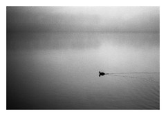 FILM - Lone (fishyfish_arcade) Tags: 35mm analogphotography bw blackwhite blackandwhite filmphotography filmisnotdead hp5 istillshootfilm monochrome nikkor2880f3556afd nikonf80 analogcamera film ilford mono landscape coot waterfowl mist rothervalley