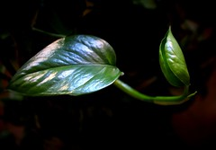 Pothos.....in un interno! (dona(bluesea)) Tags: foglie leaves photos palermo sicilia sicily