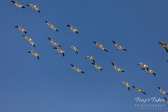 February 2, 2020 - Snow geese migrate over Colorado. (Tony's Takes)