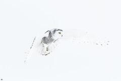 ''Suspension!'' harfang des neiges-Snowy owl (pascaleforest) Tags: oiseau bird nature wild widlife faune québec canada owl snow animal winter hiver