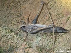 Mecopoda elongata