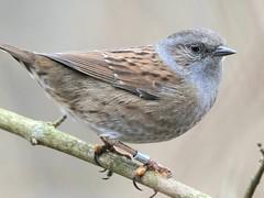 Dunnock (Prunella modularis) (doranstacey) Tags: nature wildlife birds dunnock rspb oldmoor reserve woodland nikon d5300 tamron 150600mm