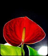 Flamingo flower. . . (CWhatPhotos) Tags: cwhatphotos camera photographs photograph pics pictures pic picture image images foto fotos photography artistic that have which contain digital olympus four thirds omd em1 mkll 30mm macro prime lens flower red light plant nature shadow shadows flamingo flamingoflower pot