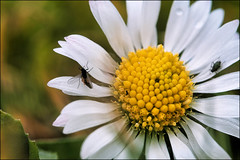 daisy (Thomas Warnecke) Tags: daisy flower bellis nature outdoors beauty in head no people petal white color closeup plant day growth fragility freshness yellow macro gänseblümchen