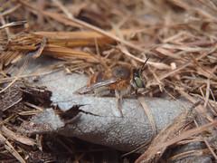Anthophora sp. f (bleu.geo) Tags: hymenoptera bee hyménoptère solitarybee abeille abeillesauvage abeillesolitaire miningbee wildbees biodiversity biodiversité abeillesparis abeillesdeparis abeillessolitairesdeparis abeillessauvagesdeparis abeilledeparis