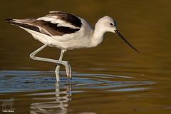 Icy Legs (Jasper's Human) Tags: americanavocet bird water droplet