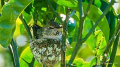 Anna's Hummingbird (Bob Gunderson) Tags: annashummingbird birds california calypteanna hummingbirds northerncalifornia sanfrancisco