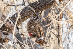 February 2, 2020 - A great horned owl gaurds its fishy meal. (Tony's Takes)